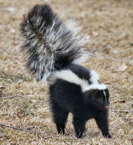 File:Skunk.jpg