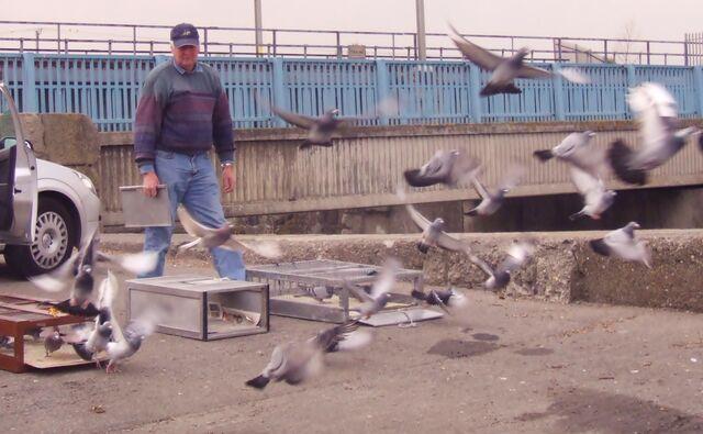 File:Clontarf Pigeon Club Racing Pigeons.jpg