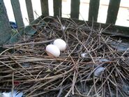 Columba livia nest 2 eggs