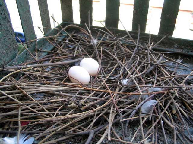 File:Columba livia nest 2 eggs.jpg