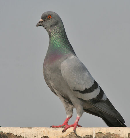 File:Blue Rock Pigeon.jpg