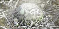 Burgeoning Spiderwort mold