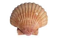 Scallop Shell jpg