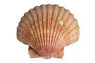 Scallop Shell jpg