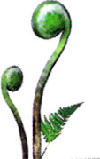File:Fiddlehead.jpg