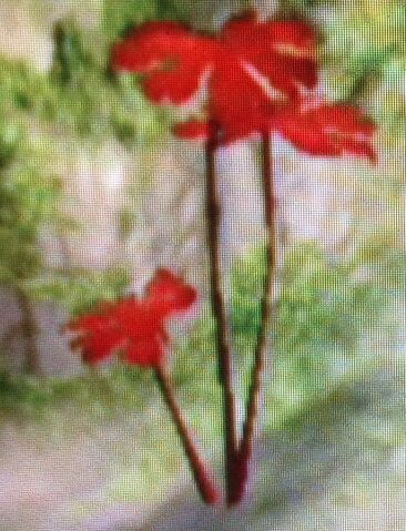 File:Red Leaf plant.jpg