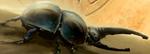 Scarabax Beetle.PNG