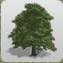 Sycamore Tree 1 icon