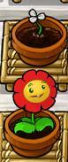 Right-Facing Marigold