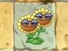 File:Twin sunflower ph.jpeg