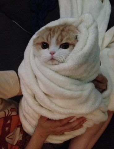 File:Cat Burrito.jpg