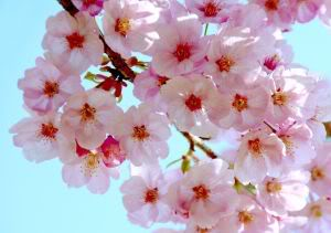 File:496091 japanese cherry blossoms.jpg