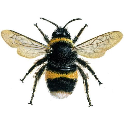 File:Bumblebee buff-tailed 600.jpg
