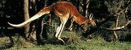 Red kangeroo m harvey 351350