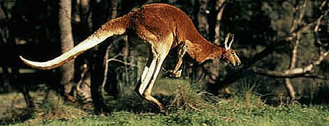File:Red kangeroo m harvey 351350.jpg