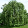 220px-Salix alba Morton.jpg