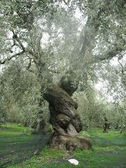 450px-Ancient Olive Tree in Pelion, Greece (1)