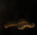 HairyCaterpillars.png