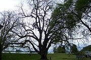 200px-Sauvie island black walnut