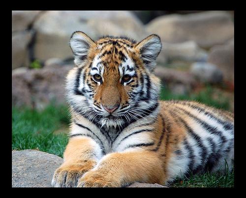 File:Big Tiger Cub!.jpg