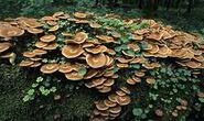 Honey-Fungus,-Gardening,--443723