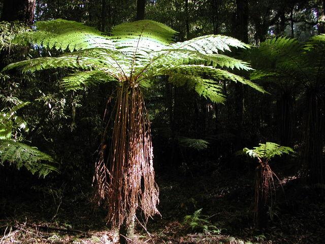 File:Tree fern.jpg