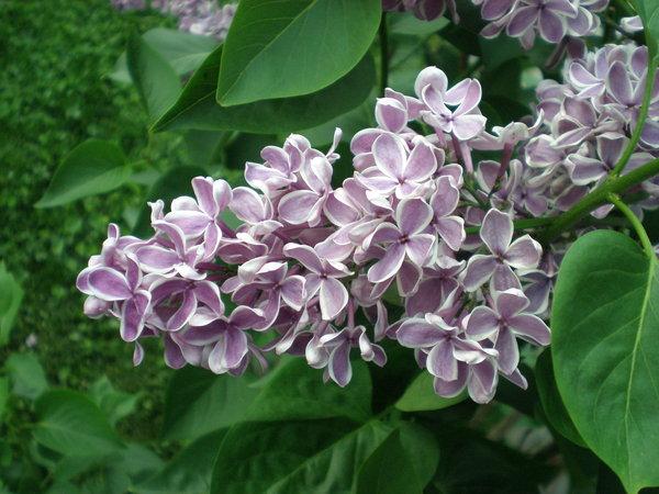 File:Lilac.jpg
