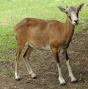 MouflonEwe
