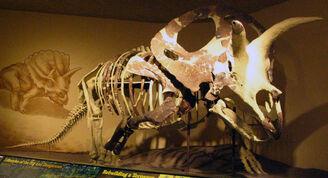 Torosaurus skel