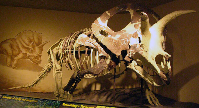 File:Torosaurus skel.jpg