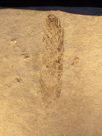 File:Archaeopteryx feather.jpg