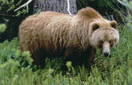 Montana-Grizzly-Bear-Hunting
