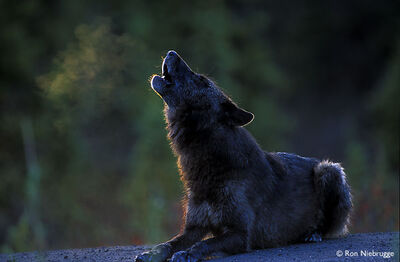BLACK WOLF HOWL LAY