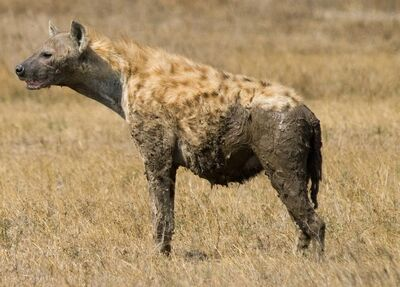 Spotted Hyena in Serengeti cropped