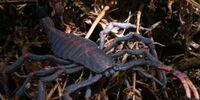 Pulmonoscorpius kirktonensis