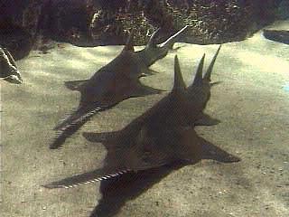 File:Onchopristis prehistoric sawfish.jpg