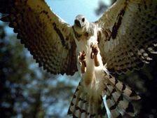 Haast eagle