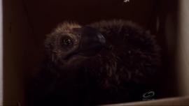 JuvenileTerrorBird