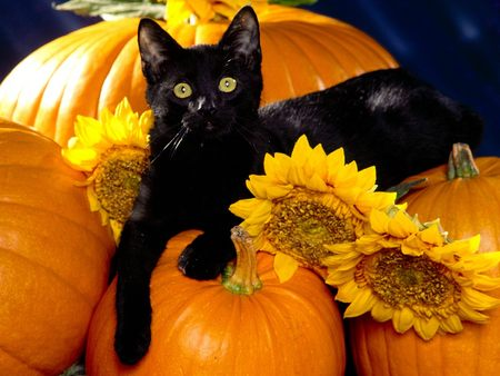 File:Black kitty with pumpkins.jpg