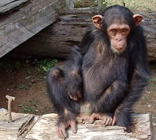 File:Chimp.png