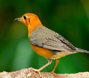 Orange-headed=thrush