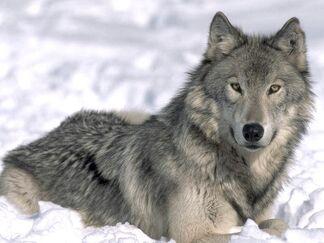 Grey-wolf2