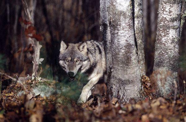 File:Wolf1.jpg