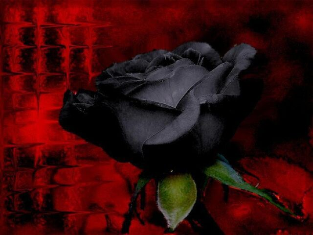 File:Beautiful-black-rose.jpg