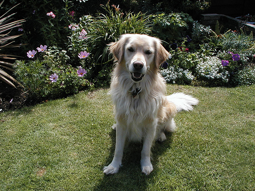 Plik:Golden Retriver - Rocky.jpg
