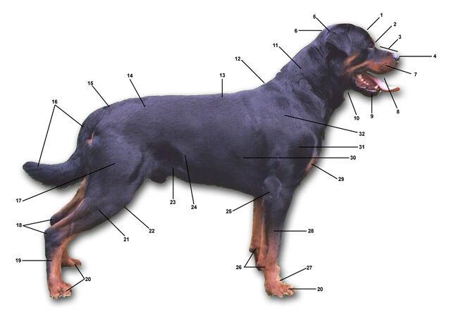 Plik:Dog anatomy.jpg