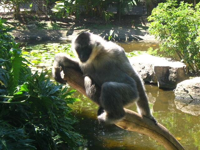 File:Whitecheeked gibbon.jpg