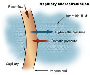 Illu capillary microcirculation