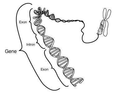 File:Gene.png
