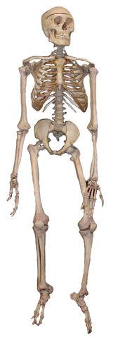 File:Skeleton2.jpg